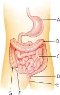 intestine2_123x196
